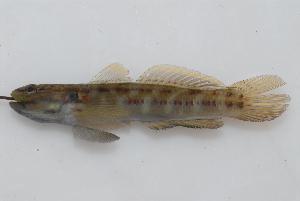 (Bathygobius casamancus - BPS-2625)  @14 [ ] Copyright (2013) Samuel P. Iglesias Museum national d'Histoire naturelle