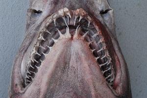 ( - BPS-2173)  @13 [ ] Copyright (2011) Samuel P. Iglesias Museum national d'Histoire naturelle