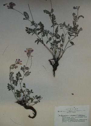 (Hedysarum minussinense - CCDB-23963-B02)  @11 [ ] CreativeCommons - Attribution Non-Commercial Share-Alike (2015) Evgeny Zibzeev Central Ciberian Botanical Garden