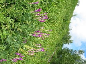 (Hedysarum theinum - CCDB-23963-C11)  @11 [ ] CreativeCommons - Attribution Non-Commercial Share-Alike (2015) Evgeny Zibzeev Central Ciberian Botanical Garden