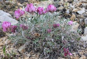 (Hedysarum zundukii - CCDB-23963-E04)  @11 [ ] CreativeCommons - Attribution Non-Commercial Share-Alike (2015) Evgeny Zibzeev Central Ciberian Botanical Garden