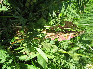 (Hedysarum austrosibiricum - CCDB-23963-H02)  @11 [ ] CreativeCommons - Attribution Non-Commercial Share-Alike (2015) Evgeny Zibzeev Central Ciberian Botanical Garden