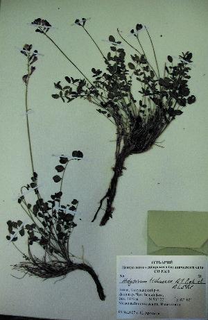 (Hedysarum tchuense - CCDB-23963-H06)  @11 [ ] CreativeCommons - Attribution Non-Commercial Share-Alike (2015) Evgeny Zibzeev Central Ciberian Botanical Garden