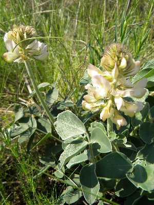 (Hedysarum grandiflorum - CCDB-24805-D03)  @11 [ ] CreativeCommons - Attribution Non-Commercial Share-Alike (2015) Evgeny Zibzeev Central Ciberian Botanical Garden