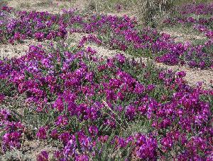 (Oxytropis microphylla - CCDB-24814-F07)  @11 [ ] CreativeCommons - Attribution Non-Commercial Share-Alike (2015) Evgeny Zibzeev Central Ciberian Botanical Garden