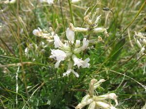 (Oxytropis nivea - CCDB-24814-G09)  @11 [ ] CreativeCommons - Attribution Non-Commercial Share-Alike (2015) Evgeny Zibzeev Central Ciberian Botanical Garden