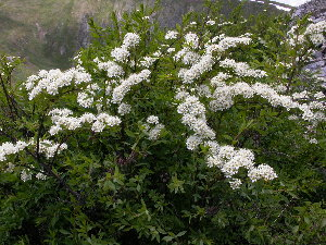 (Spiraea alpina - CCDB-24817-A02)  @11 [ ] CreativeCommons - Attribution Non-Commercial Share-Alike (2015) Evgeny Zibzeev Central Ciberian Botanical Garden