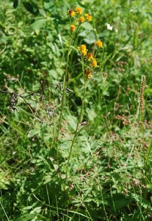 (Tephroseris - CCDB-24817-C02)  @11 [ ] CreativeCommons - Attribution Non-Commercial Share-Alike (2015) Evgeny Zibzeev Central Ciberian Botanical Garden