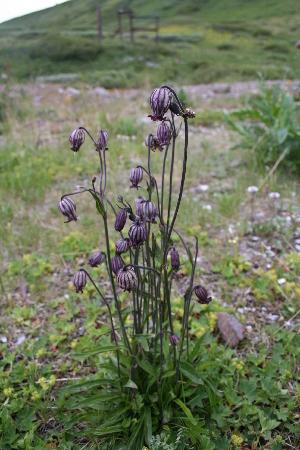 (Gastrolychnis - CCDB-24817-C07)  @11 [ ] CreativeCommons - Attribution Non-Commercial Share-Alike (2015) Evgeny Zibzeev Central Ciberian Botanical Garden