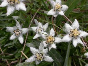 (Leontopodium - CCDB-24817-E08)  @11 [ ] CreativeCommons - Attribution Non-Commercial Share-Alike (2015) Evgeny Zibzeev Central Ciberian Botanical Garden