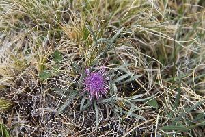 (Saussurea - CCDB-24901-E09)  @11 [ ] CreativeCommons - Attribution Non-Commercial Share-Alike (2015) Evgeny Zibzeev Central Ciberian Botanical Garden