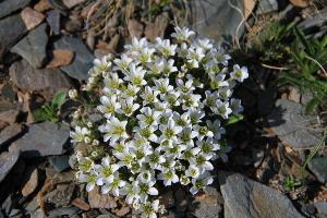 (Minuartia - CCDB-24901-E12)  @11 [ ] CreativeCommons - Attribution Non-Commercial Share-Alike (2015) Evgeny Zibzeev Central Ciberian Botanical Garden