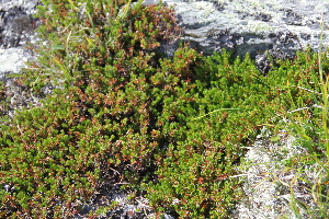 ( - CCDB-24901-F06)  @11 [ ] CreativeCommons - Attribution Non-Commercial Share-Alike (2015) Evgeny Zibzeev Central Ciberian Botanical Garden