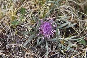 (Saussurea - CCDB-24901-F09)  @11 [ ] CreativeCommons - Attribution Non-Commercial Share-Alike (2015) Evgeny Zibzeev Central Ciberian Botanical Garden