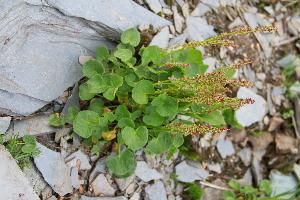 (Oxyria - CCDB-24901-G10)  @11 [ ] CreativeCommons - Attribution Non-Commercial Share-Alike (2015) Evgeny Zibzeev Central Ciberian Botanical Garden