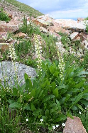 (Macropodium - CCDB-24901-H09)  @11 [ ] CreativeCommons - Attribution Non-Commercial Share-Alike (2015) Evgeny Zibzeev Central Ciberian Botanical Garden