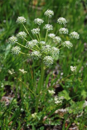 (Aulacospermum - CCDB-24903-A01)  @11 [ ] CreativeCommons - Attribution Non-Commercial Share-Alike (2015) Evgeny Zibzeev Central Ciberian Botanical Garden