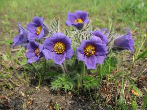 (Pulsatilla - CCDB-24903-C02)  @11 [ ] CreativeCommons - Attribution Non-Commercial Share-Alike (2015) Evgeny Zibzeev Central Ciberian Botanical Garden