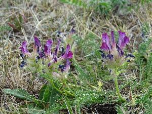 (Oxytropis glandulosa - CCDB-26259-B12)  @11 [ ] CreativeCommons - Attribution Non-Commercial Share-Alike (2016) Evgeny Zibzeev Central Ciberian Botanical Garden