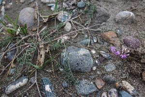 (Oxytropis teres - CCDB-26259-C12)  @11 [ ] CreativeCommons - Attribution Non-Commercial Share-Alike (2016) Evgeny Zibzeev Central Ciberian Botanical Garden