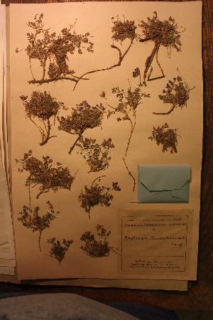 (Oxytropis saposhnikovii - CCDB-26259-D10)  @11 [ ] CreativeCommons - Attribution Non-Commercial Share-Alike (2016) Evgeny Zibzeev Central Ciberian Botanical Garden