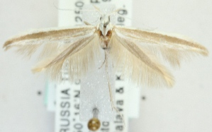 (Coleophora adelpha - MM20361)  @11 [ ] CreativeCommons - Attribution Non-Commercial (2012) Marko Mutanen University of Oulu