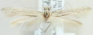 (Coleophora fuscinervella - MM20369)  @13 [ ] CreativeCommons - Attribution Non-Commercial (2012) Marko Mutanen University of Oulu