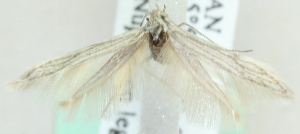(Coleophora uralensis - MM20376)  @13 [ ] CreativeCommons - Attribution Non-Commercial (2012) Marko Mutanen University of Oulu