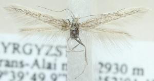 (Coleophora treskaensis - MM20396)  @13 [ ] CreativeCommons - Attribution Non-Commercial (2012) Marko Mutanen University of Oulu