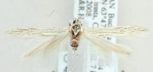 (Coleophora seguiella - MM20409)  @14 [ ] CreativeCommons - Attribution Non-Commercial (2012) Marko Mutanen University of Oulu