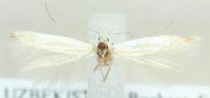 (Coleophora amseliella - MM20410)  @12 [ ] CreativeCommons - Attribution Non-Commercial (2012) Marko Mutanen University of Oulu