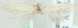 (Coleophora mediterranea - MM20426)  @13 [ ] CreativeCommons - Attribution Non-Commercial (2012) Marko Mutanen University of Oulu