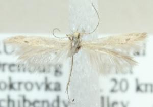 (Coleophora teheranella - MM20440)  @12 [ ] CreativeCommons - Attribution Non-Commercial (2012) Marko Mutanen University of Oulu