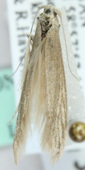 (Coleophora machinopis - MM20496)  @12 [ ] CreativeCommons - Attribution Non-Commercial (2012) Marko Mutanen University of Oulu