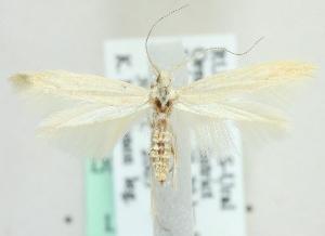 (Coleophora serinipennella - MM21501)  @13 [ ] CreativeCommons - Attribution Non-Commercial (2012) Marko Mutanen University of Oulu