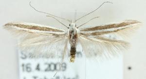 (Coleophora eupreta - MM21519)  @14 [ ] CreativeCommons - Attribution Non-Commercial (2012) Marko Mutanen University of Oulu