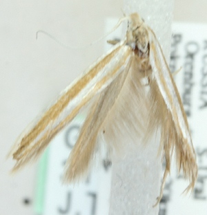 (Coleophora uniphalli - MM21561)  @12 [ ] CreativeCommons - Attribution Non-Commercial (2012) Marko Mutanen University of Oulu