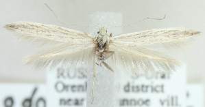 (Coleophora odorariella - MM21590)  @11 [ ] CreativeCommons - Attribution Non-Commercial (2012) Marko Mutanen University of Oulu