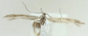 (Coleophora daglarica - MM21594)  @11 [ ] CreativeCommons - Attribution Non-Commercial (2012) Marko Mutanen University of Oulu