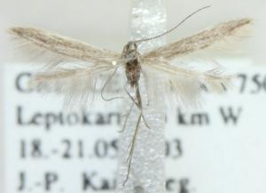 (Coleophora daglarica - MM21595)  @11 [ ] CreativeCommons - Attribution Non-Commercial (2012) Marko Mutanen University of Oulu
