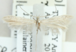 (Coleophora crispella - MM21597)  @11 [ ] CreativeCommons - Attribution Non-Commercial (2012) Marko Mutanen University of Oulu