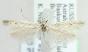 (Coleophora occatella - MM21600)  @14 [ ] CreativeCommons - Attribution Non-Commercial (2012) Marko Mutanen University of Oulu