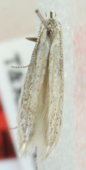 (Coleophora verbljushkella - MM21691)  @11 [ ] CreativeCommons - Attribution Non-Commercial (2012) Marko Mutanen University of Oulu