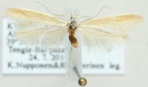 (Coleophora ceratoidis - MM21721)  @12 [ ] CreativeCommons - Attribution Non-Commercial (2012) Marko Mutanen University of Oulu