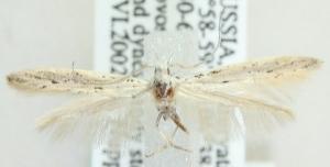 (Coleophora asperginella - MM21732)  @12 [ ] CreativeCommons - Attribution Non-Commercial (2012) Marko Mutanen University of Oulu