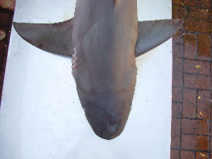 (Carcharhinus obscurus - C.obscurus140706)  @11 [ ] Unspecified (default): All Rights Reserved  Unspecified Unspecified