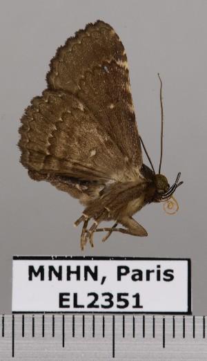 (Pseudyrias - EL2351)  @14 [ ] Creative commons (2015) MNHN Muséum national d'Histoire naturelle