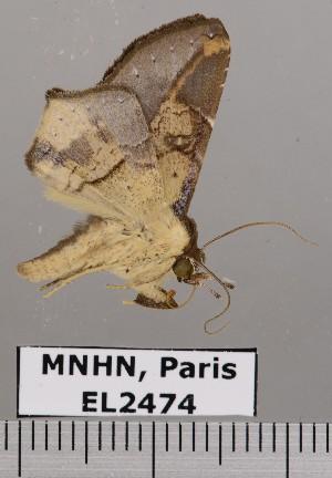 (Thyridospila - EL2474)  @15 [ ] Creative commons (2015) MNHN Muséum national d'Histoire naturelle