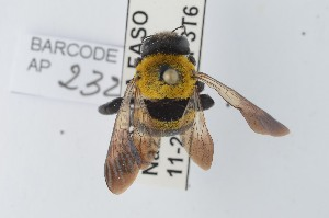 (Xylocopa scioensis - CCDB-28238 C12)  @14 [ ] CreativeCommons - Attribution (2015) Laurence Packer RBINS