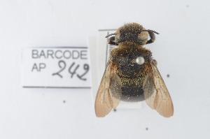 (Xylocopa gabonica - CCDB-28238 D05)  @13 [ ] CreativeCommons - Attribution (2015) Laurence Packer RBINS